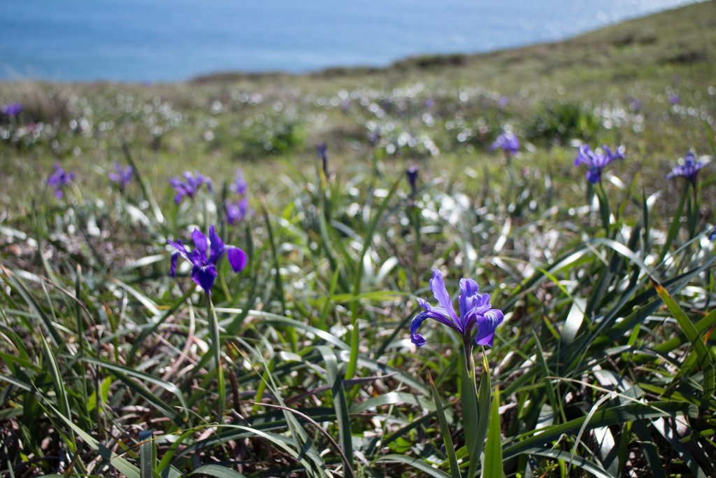 Wild irises at Chimney Rock. Photo by Nell Shaw Cohen.