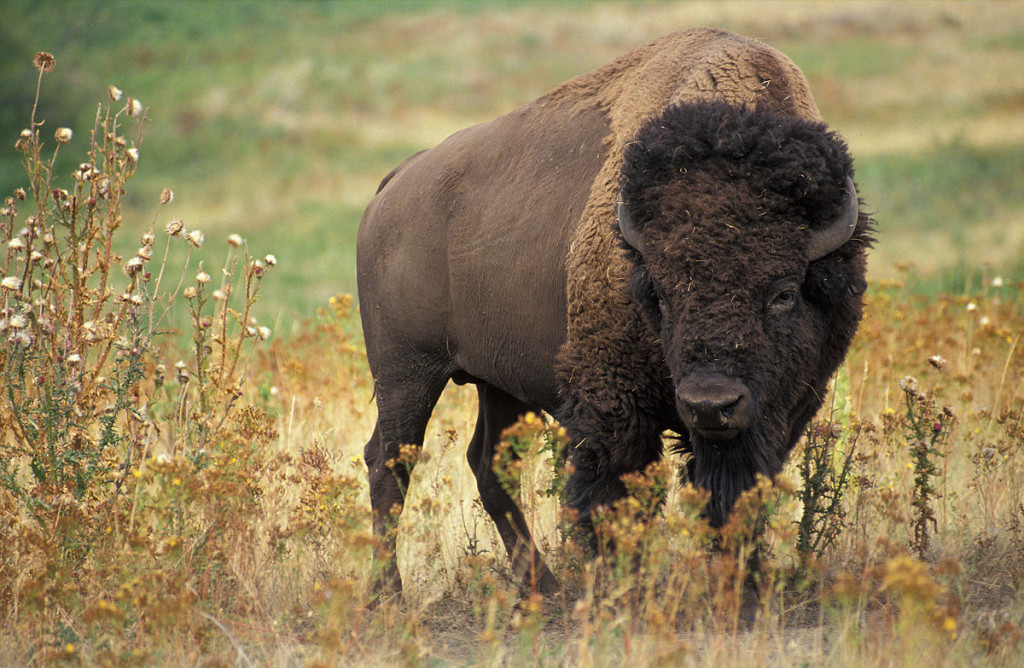 America bison. Source: Wikimedia commons.