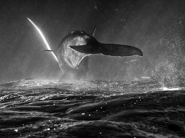 Humpback Whale by Christopher Michel