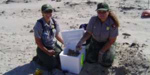 Staff from the Division of Sea Turtle Science and Recovery at Padre Island National Seashore excavate eggs from a sea turtle nest.