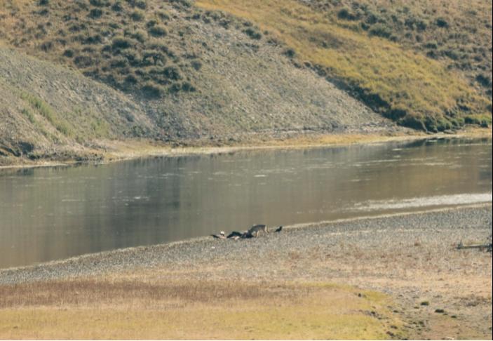Wolf and ravens on elk carcass, Hayden Valley